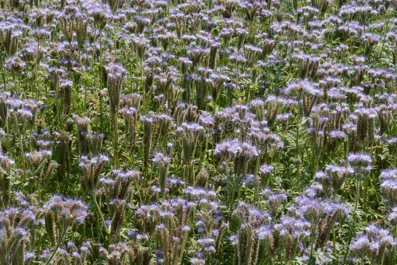 Flowerfield pourpre en Hongrie images stock