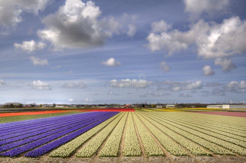 Flowerfields em Holland imagem de stock