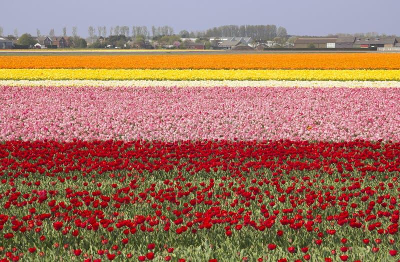Flowerfields en Hollande photographie stock
