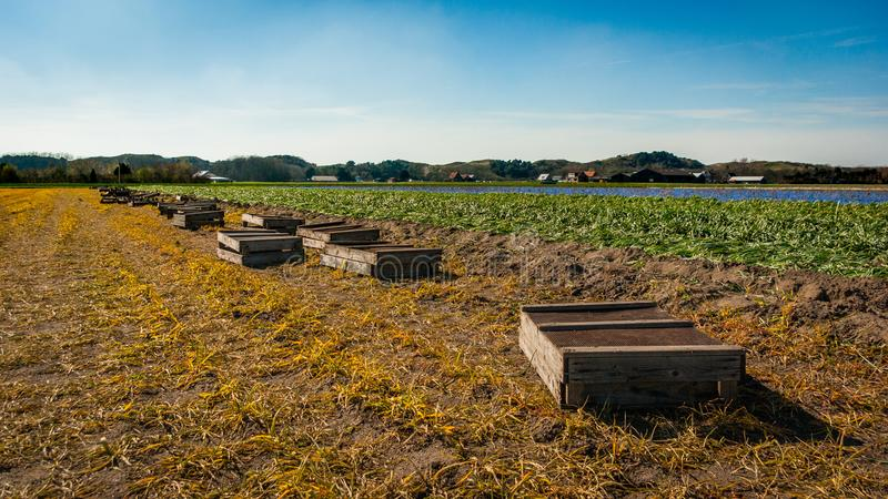 Egmond-binnen, the Netherlands - april 2016: Wooden harvest crates lay lined up at the edge of a bulbs field of grape hyacinths stock images