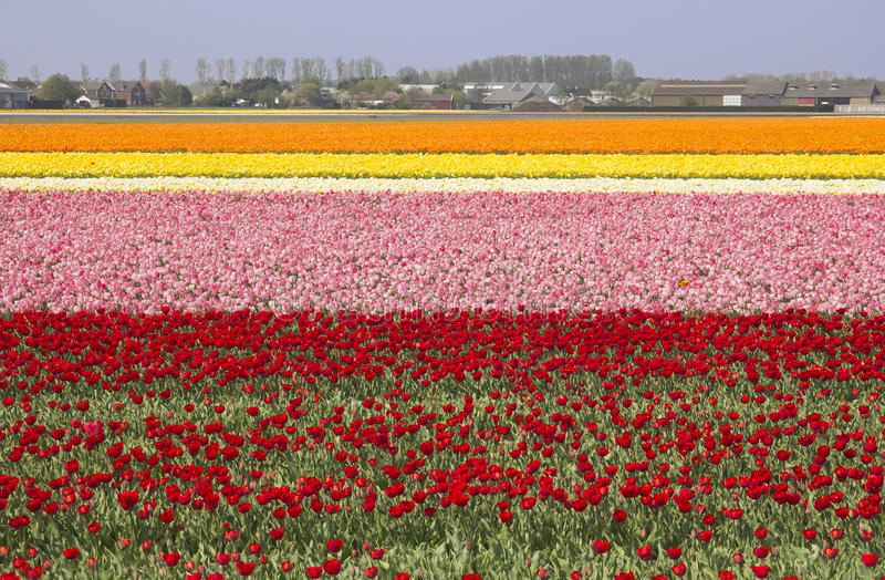 Flowerfields in Holland stock fotografie