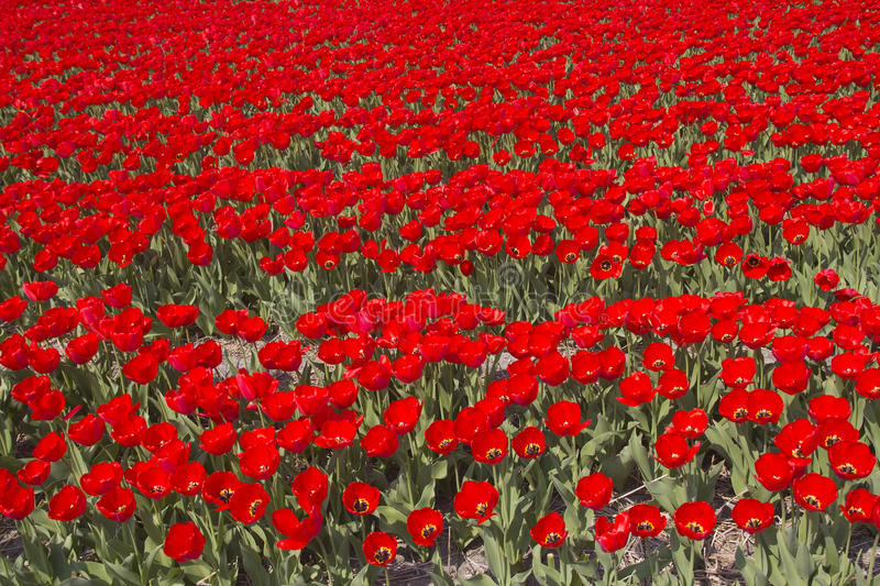 Download Flowerfields in Holland stock photo. Image of dutch, botany - 20722446