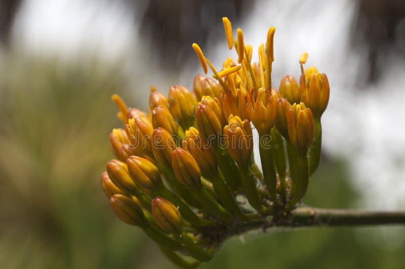 Flowerhead av Agavegypsophilaväxten arkivbild