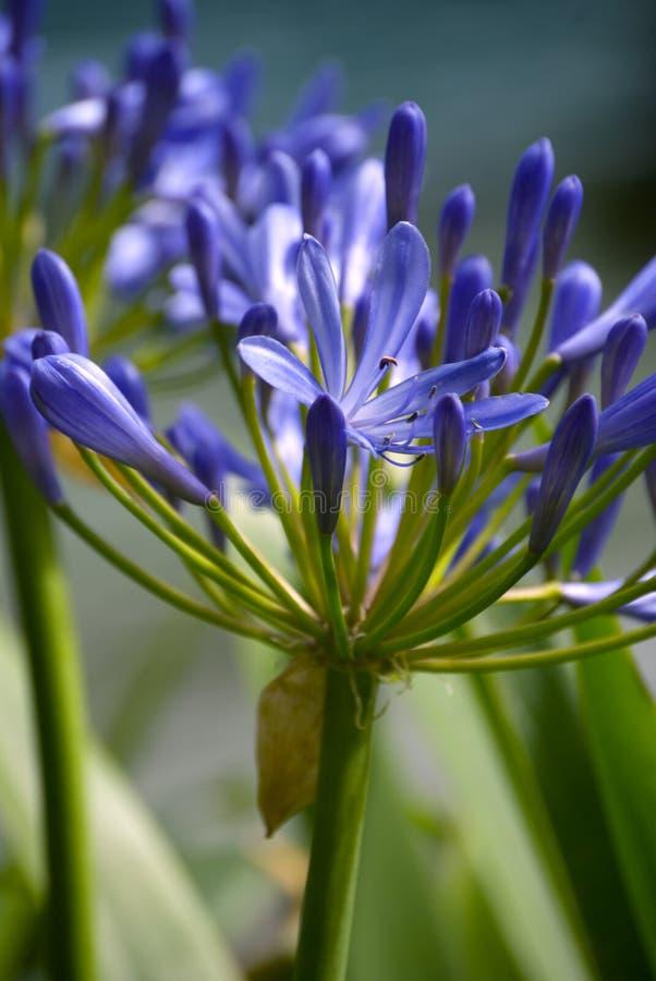Flowerhead azul imagens de stock royalty free