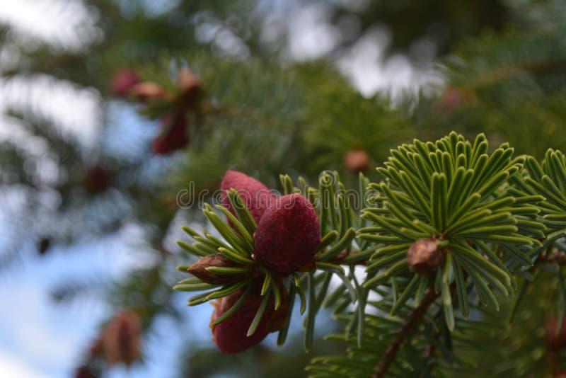 Flowerhead de sapin de Sitka images stock