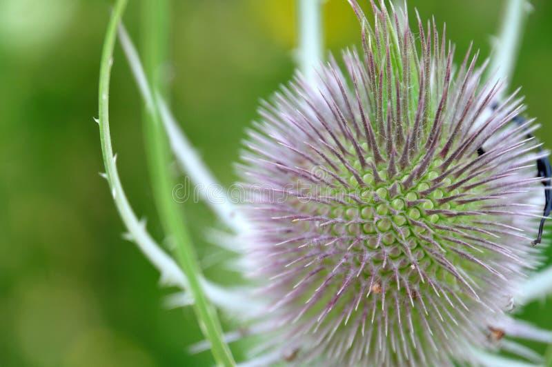 Flowerhead de uma carda selvagem fotografia de stock royalty free