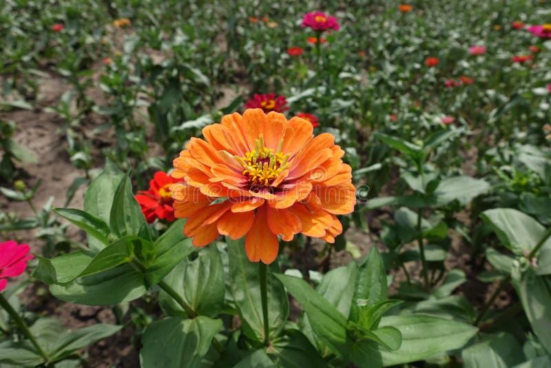Flowerhead orange pâle des elegans de Zinnia photos stock