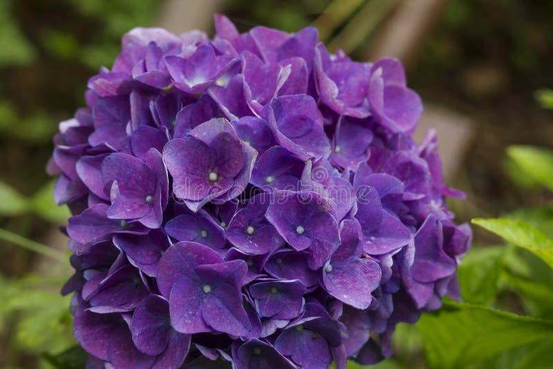Flowerhead púrpura de la hortensia en un jardín imagen de archivo
