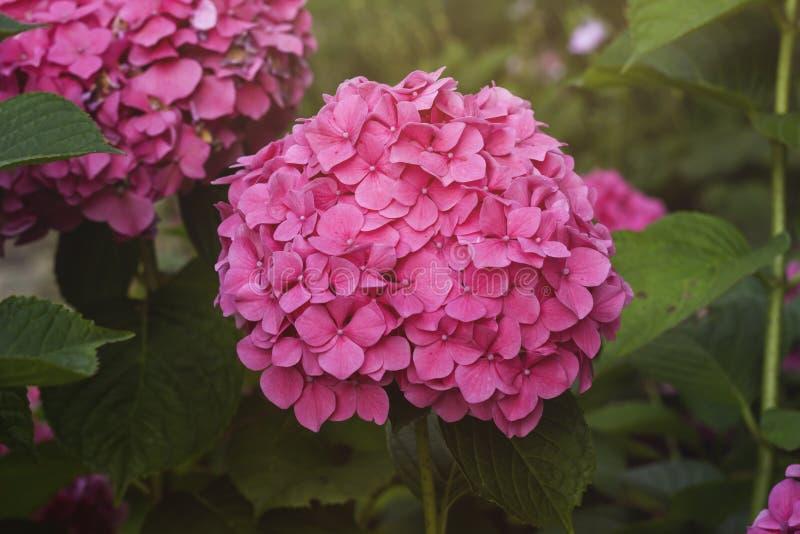 Flowerhead rosado del hortensia foto de archivo