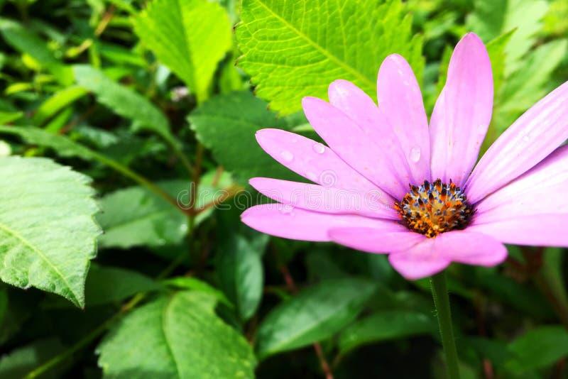 Flowerhead violeta foto de archivo