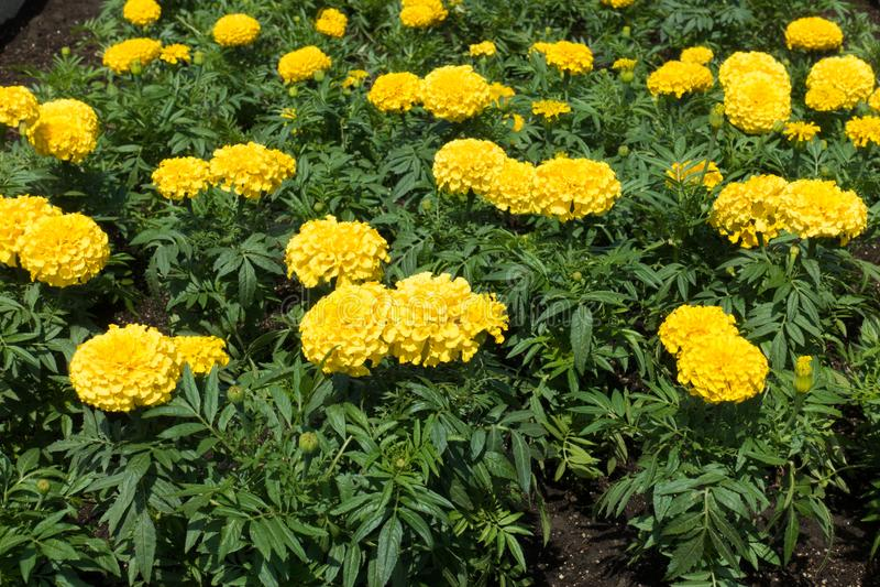 Flowerheads amarelos ambarinos de cravos-de-defunto mexicanos foto de stock