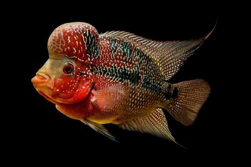 Flowerhorn é o peixe decorativo colorido fotografia de stock royalty free