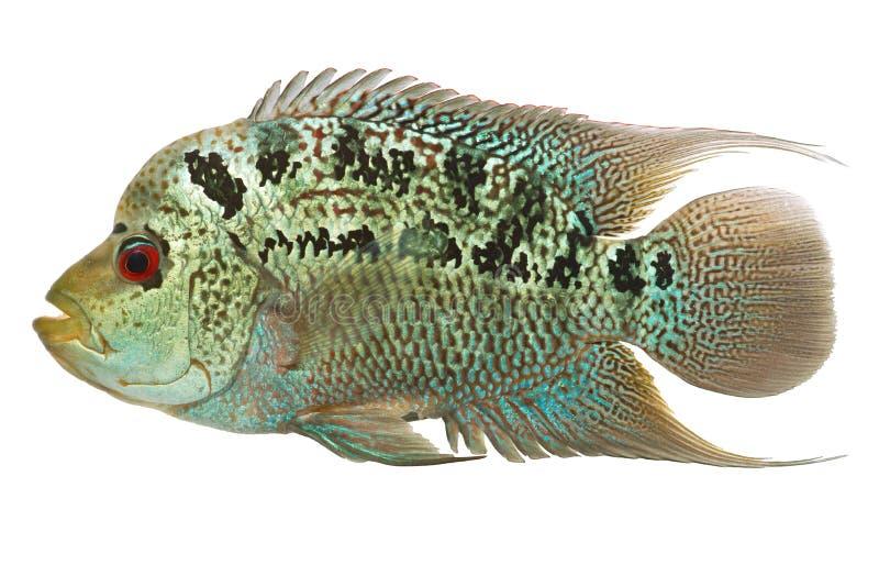 Flowerhorn cichlid fish stock photo