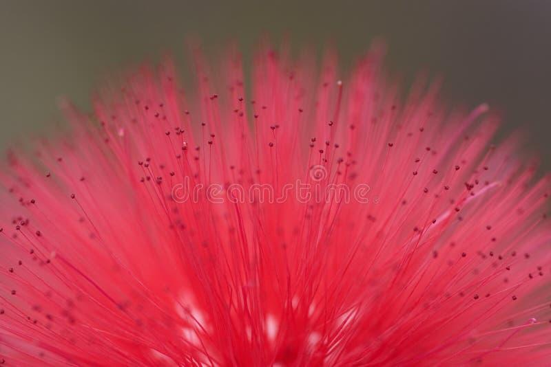 Flowering 4. Macro of blooming red flower royalty free stock photo