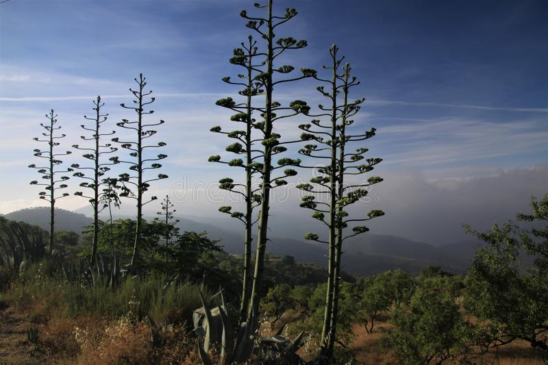 Flowering agave americana variegata against blue sky and low hanging clouds in a valley in Sierra Nevada, Andalusia, Spain royalty free stock photo