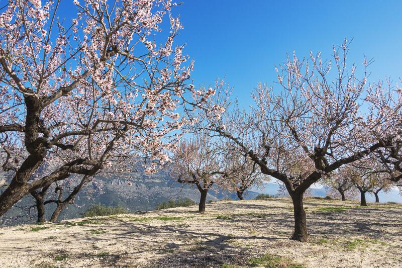 Flowering almond tree garden with blue sky background at sunny day in Spain royalty free stock photography