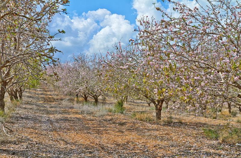 Flowering almond trees in the countryside stock photo