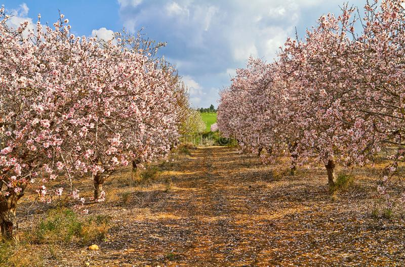 Flowering almond trees in the countryside royalty free stock photo