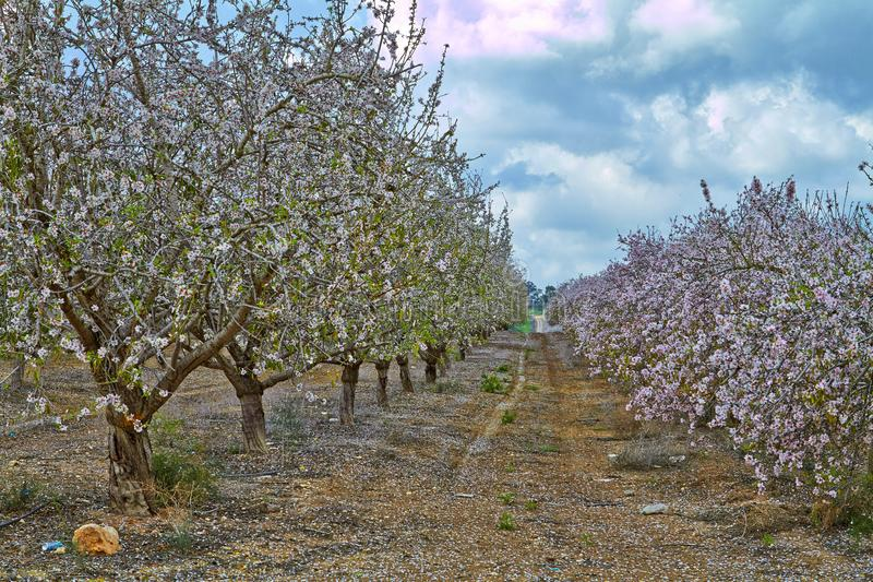 Flowering almond trees in the countryside royalty free stock image