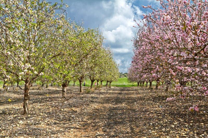 Flowering almond trees stock photo
