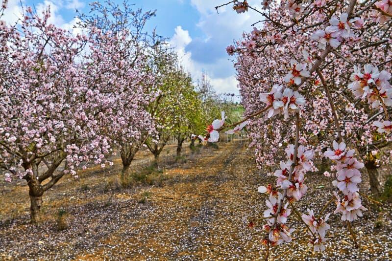 Flowering almond trees stock photos