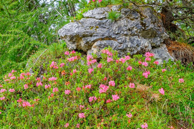 Flowering Alpine rose in the alps forest royalty free stock photos