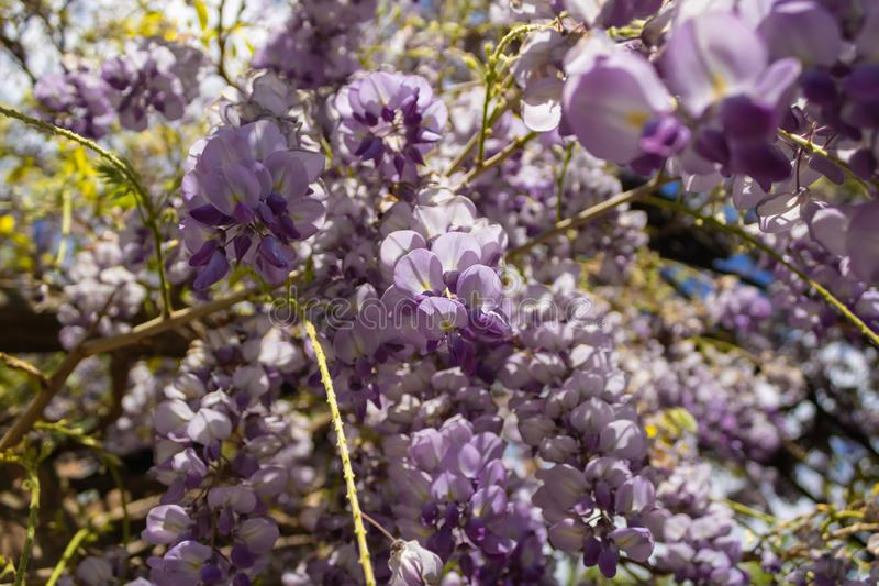Flowering Wisteria, Wisteria sinensis in blossom - Image. Flowering Amethyst Falls Wisteria, Wisteria sinensis in blossom - Image royalty free stock photos