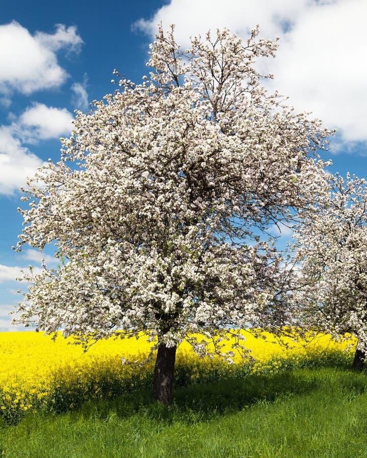 Free Flowering Apple Tree Royalty Free Stock Photos - 45121028