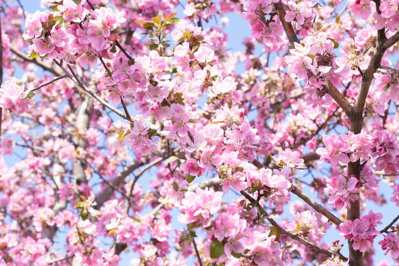 Flowering of the apple tree. Spring background of blooming flowers. White and pink flowers. Beautiful nature scene with a stock image