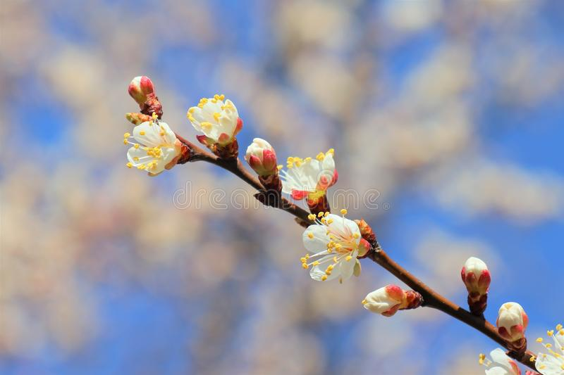 Flowering apricot branch stock images