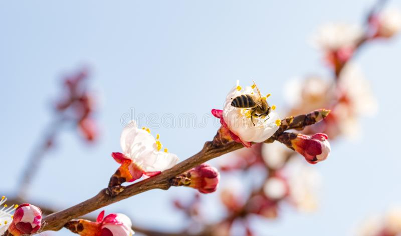 Apricot Flowers Bud. Bee pollinating a flower royalty free stock photography