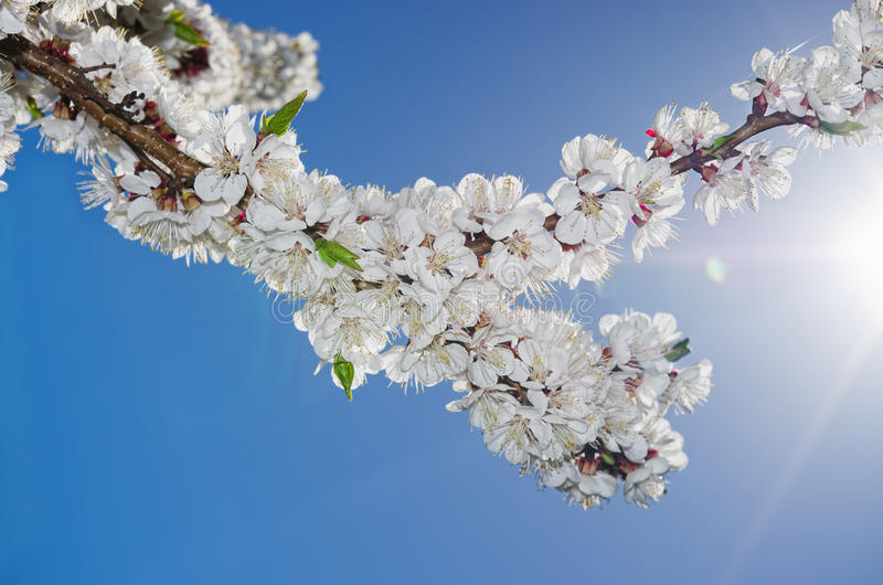 Download Flowering apricots stock photo. Image of botany, stem - 30684198