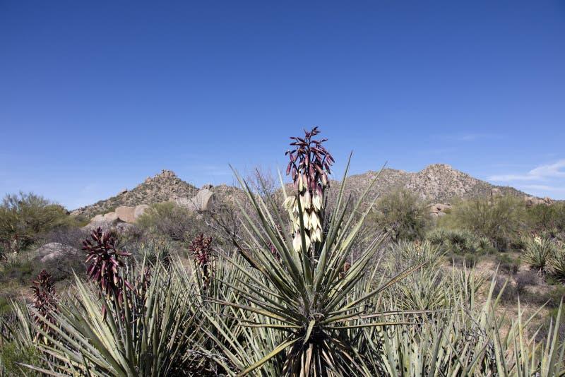 Flowering Banana Yucca plant stock photography