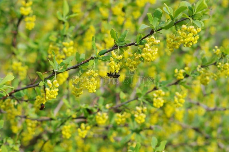 Flowering barberry stock photo