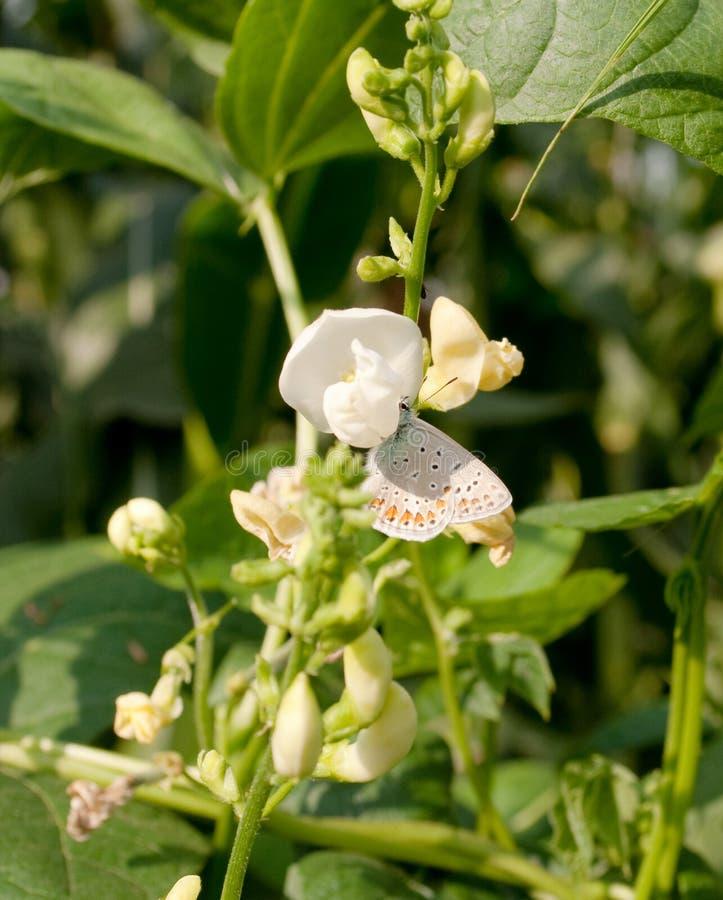 Flowering beans royalty free stock image