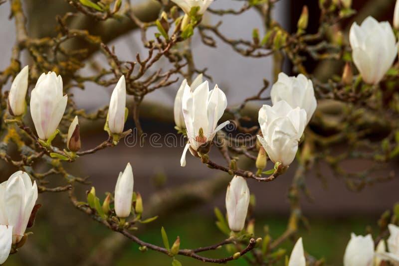 Flowering beautiful white magnolia in spring garden royalty free stock photos