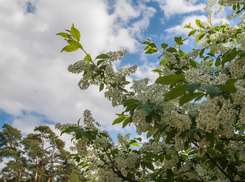 Flowering bird cherry. In the old park royalty free stock images