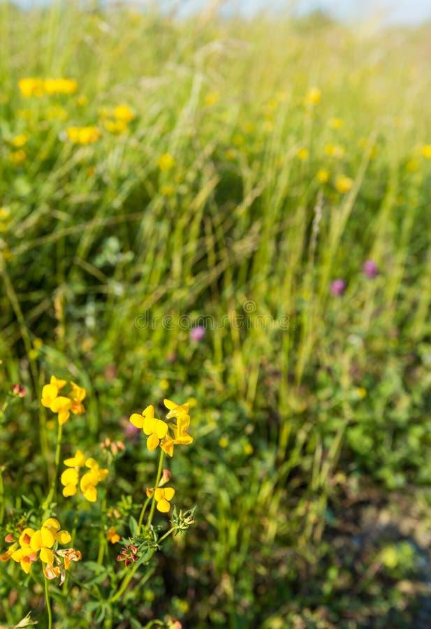 Flowering Birdfoot Deervetch plant from close stock photos
