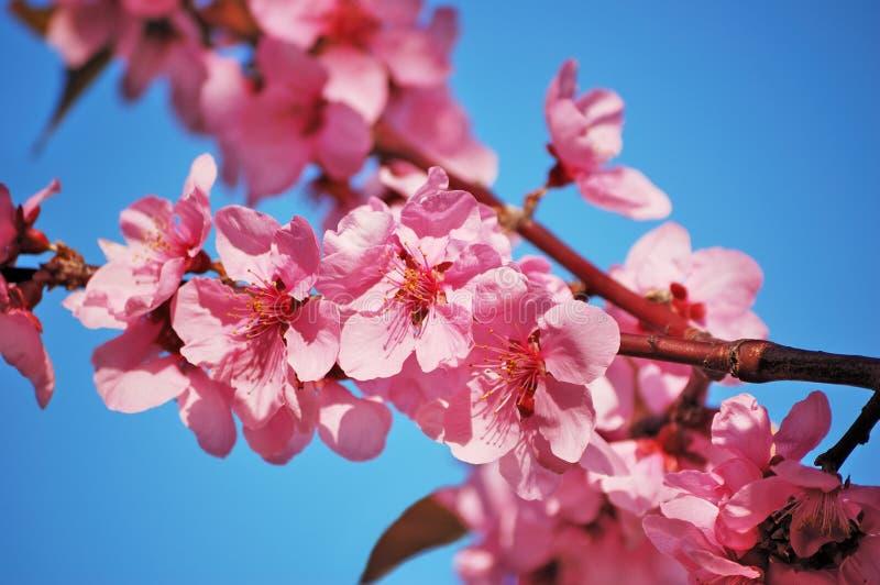 Flowering Black Plum Branch Royalty Free Stock Photography