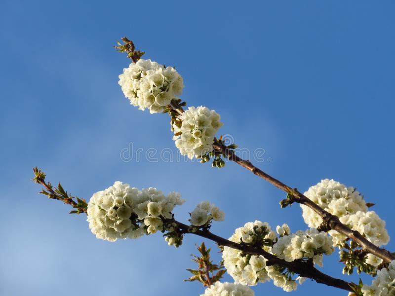 Flowering blooming cherry tree branches on clear blue sky background. cherry tree white blossom. Spring season. stock photography