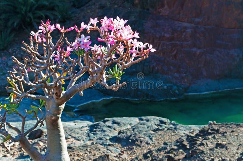 A flowering Bottle tree in Dirhur oasis, Socotra, Yemen royalty free stock image