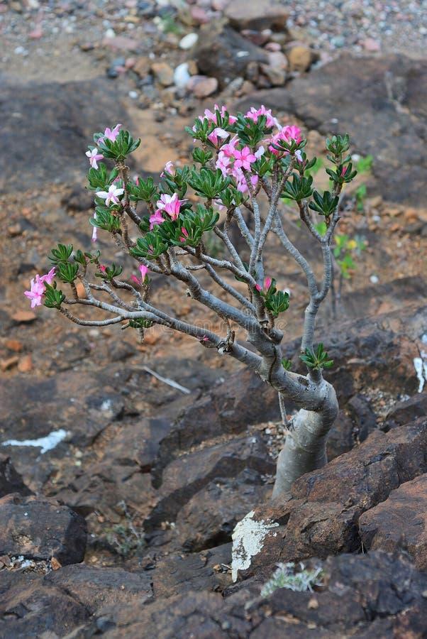 Flowering bottle tree, Yemen, Socotra royalty free stock photos