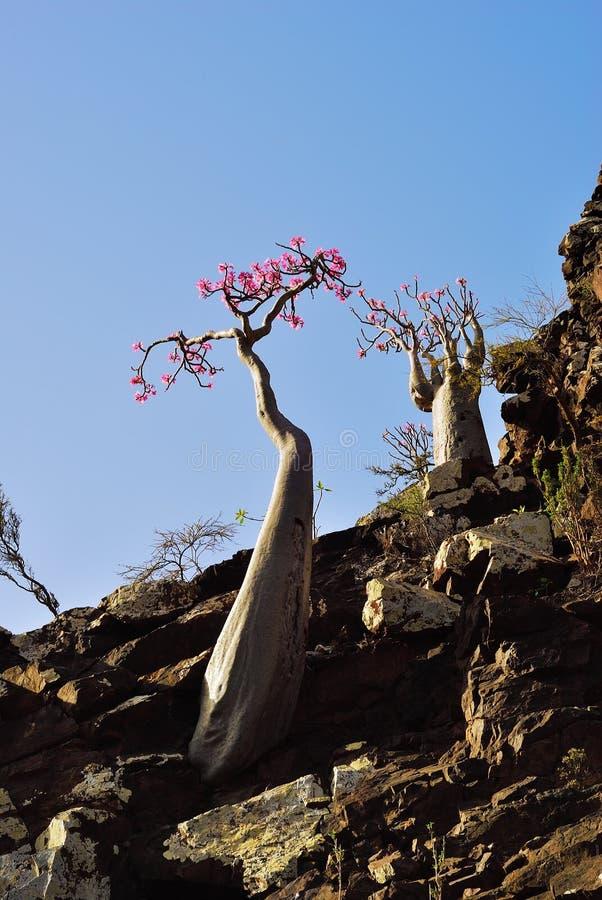 Flowering bottle tree, Yemen, Socotra royalty free stock images