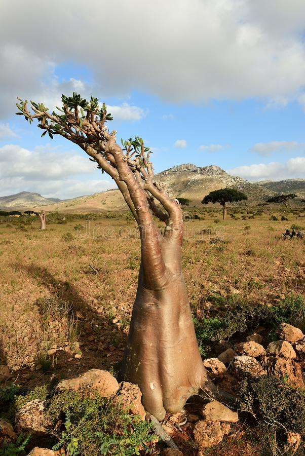 Flowering bottle tree on Socotra island, Yemen royalty free stock photo