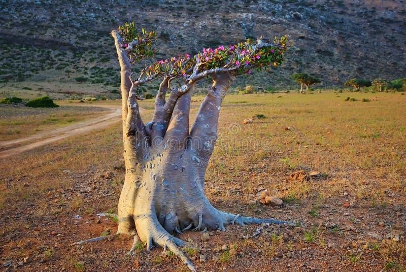 Flowering bottle tree on Socotra island, Yemen royalty free stock images