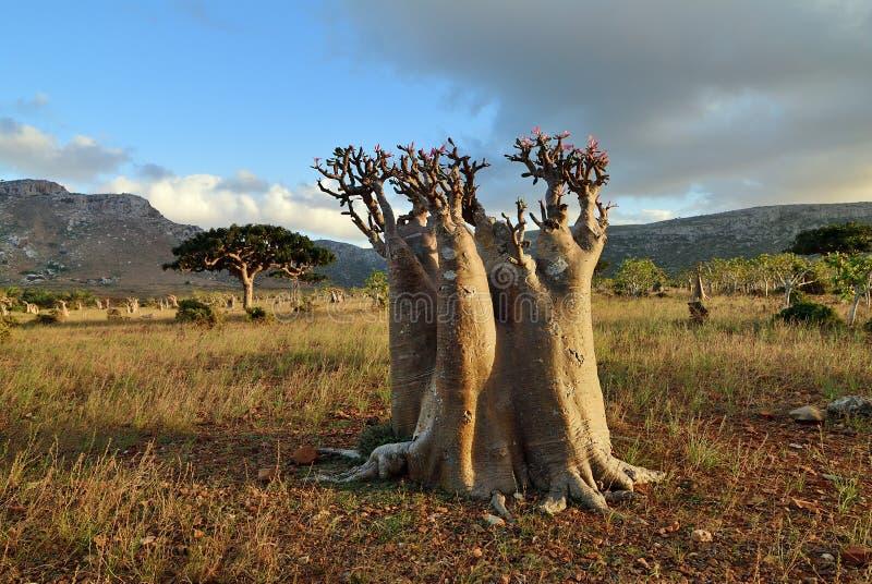 Flowering bottle tree on Socotra island, Yemen stock images