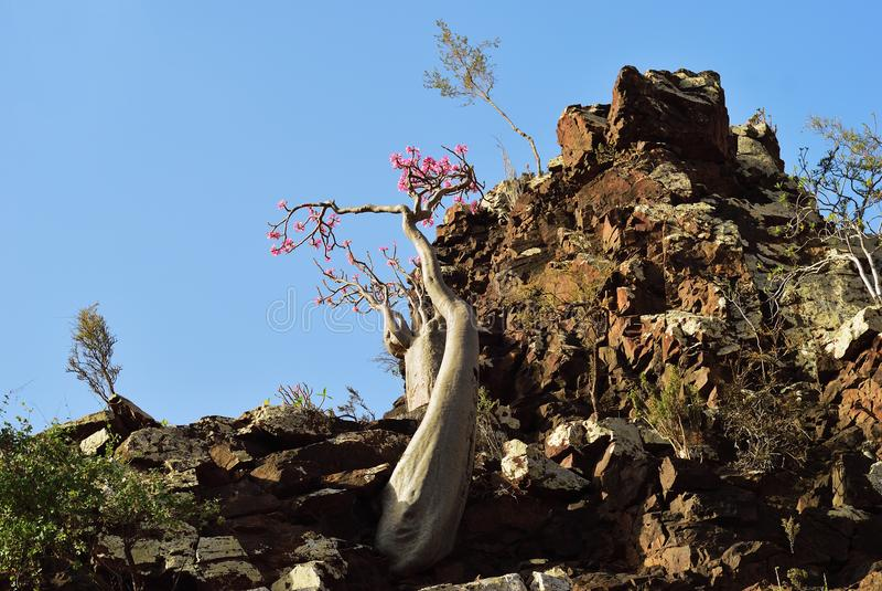 Flowering bottle tree, Yemen, Socotra royalty free stock photo