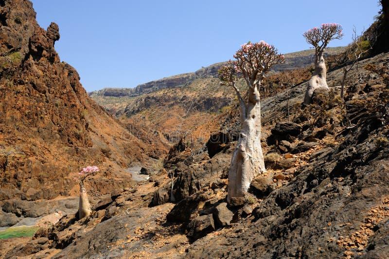 Flowering bottle trees in Socotra island, Yemen stock photos