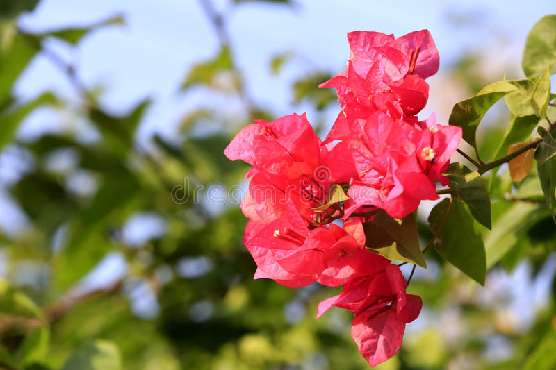 Download Flowering bougainvillea stock image. Image of floral - 33600033