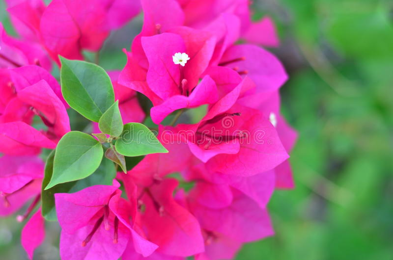 Flowering bougainvillea pink royalty free stock images